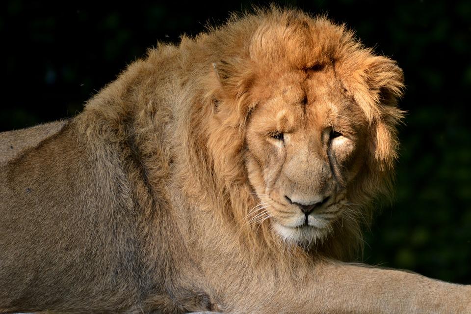Lion, Mammal, Predator, Feline, Animal, Animal World