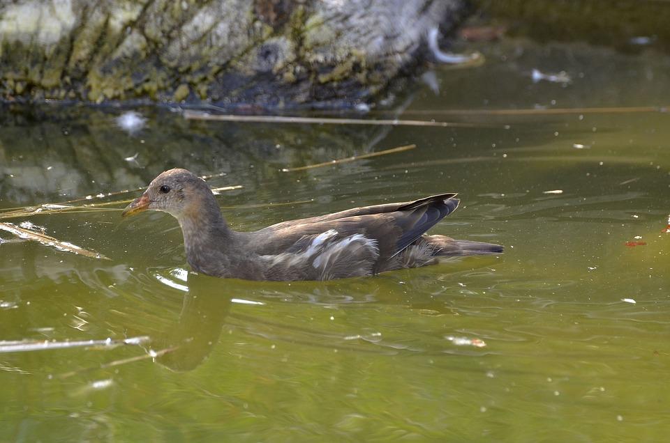 Moorhen, Floating, Bird, Water Bird, Animal World