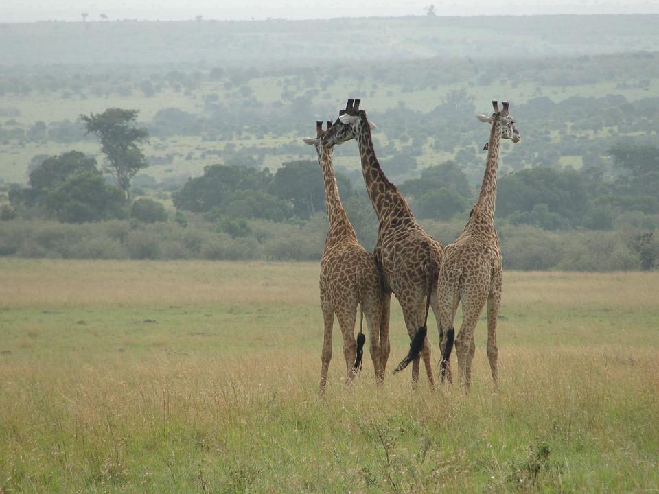 Giraffes, East Africa, Animal World