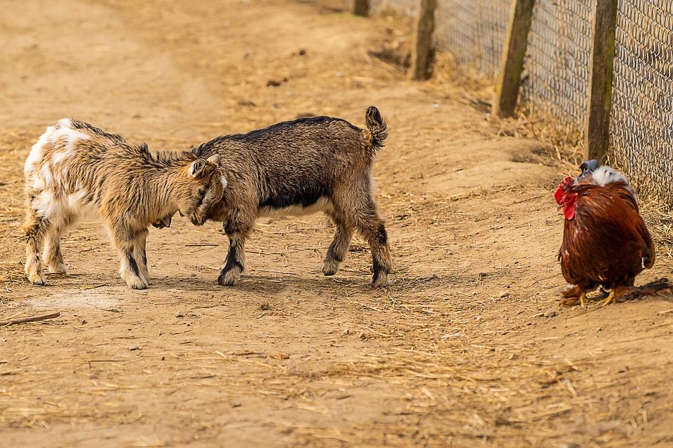 Animal, Goat, Baby Goats, Mammal, Animal World, Farm