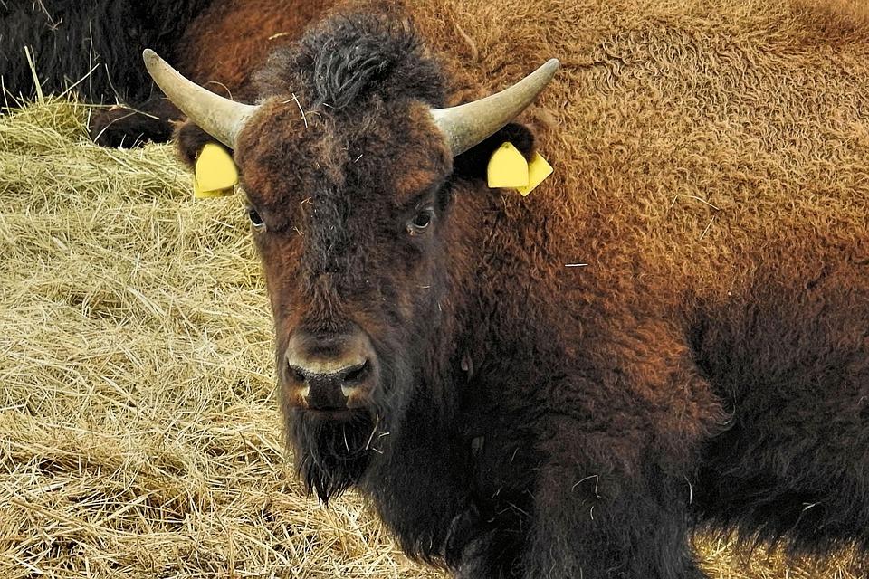 Bison, Animal, Mammal, Nature, Animal World, Grass