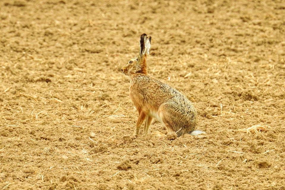 Hare, Animal, Nature, Animal World