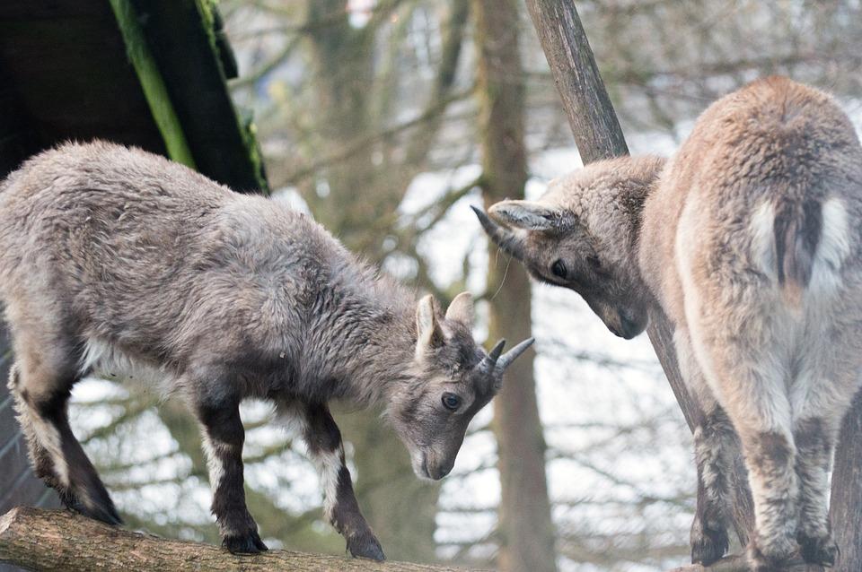 Mammal, Animal World, Nature, Animal, Wood, Ibex, Boy