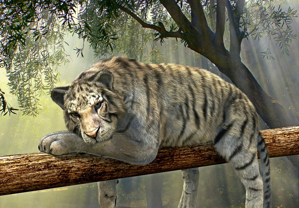 Tiger, Animal, Jungle, Rainforest, Exotic, Animal World