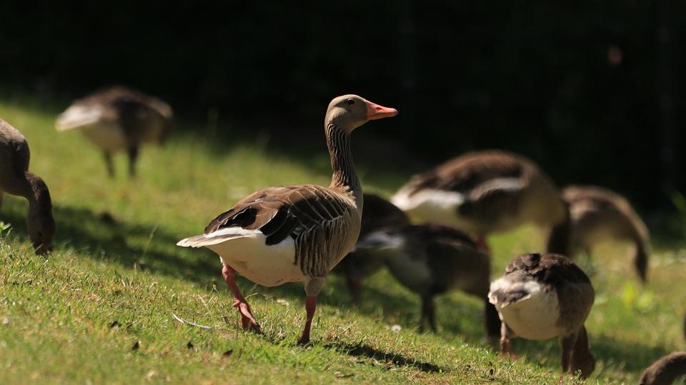 Lake, Water Bird, Nature, Geese, Animal World, Food