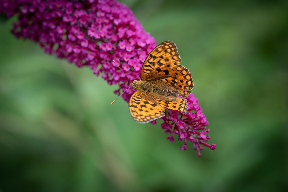 Butterfly, Butterflies, Insect, Animal World, Lilac