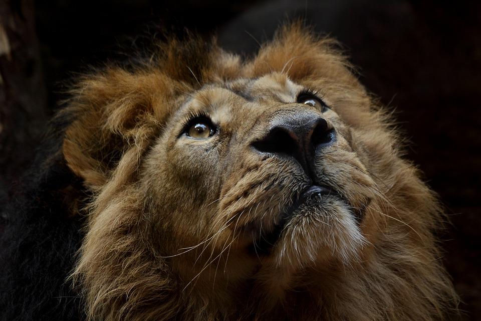 Mammal, Cat, Lion, Animal World, Portrait, Carnivores