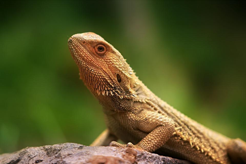 Lizard, Fauna, Creature, Animal, Animal World, Nature