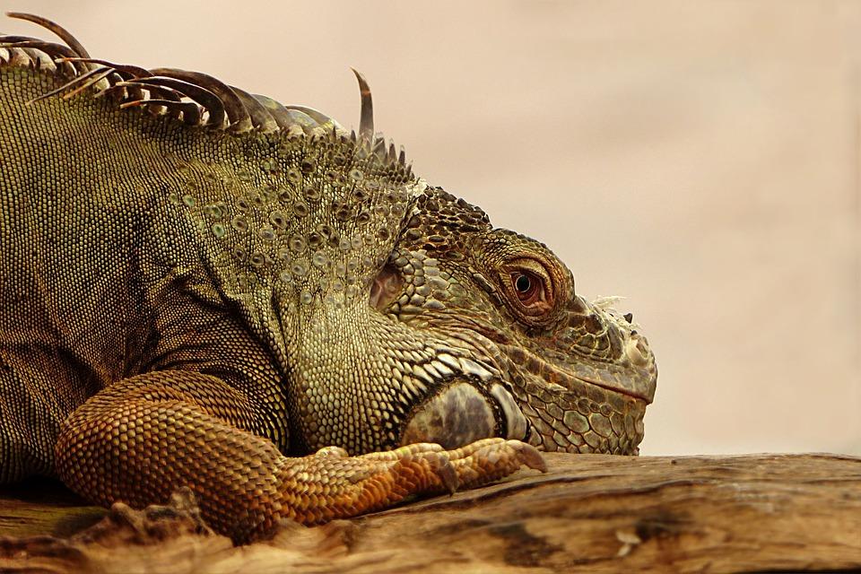 Animal, Reptile, Lizard, Iguana, Nature, Animal World