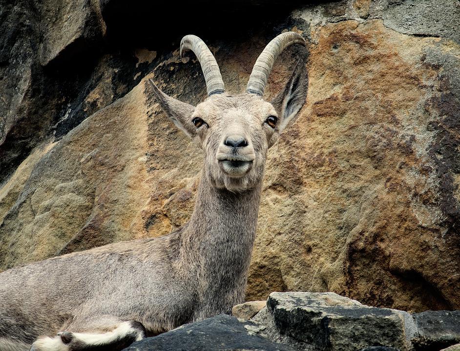 Capricorn, Ungulate, Animal, Mammal, Animal World