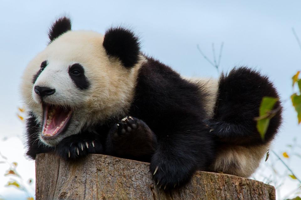 Mammal, Animal World, Cute, Animal, Nature, Panda
