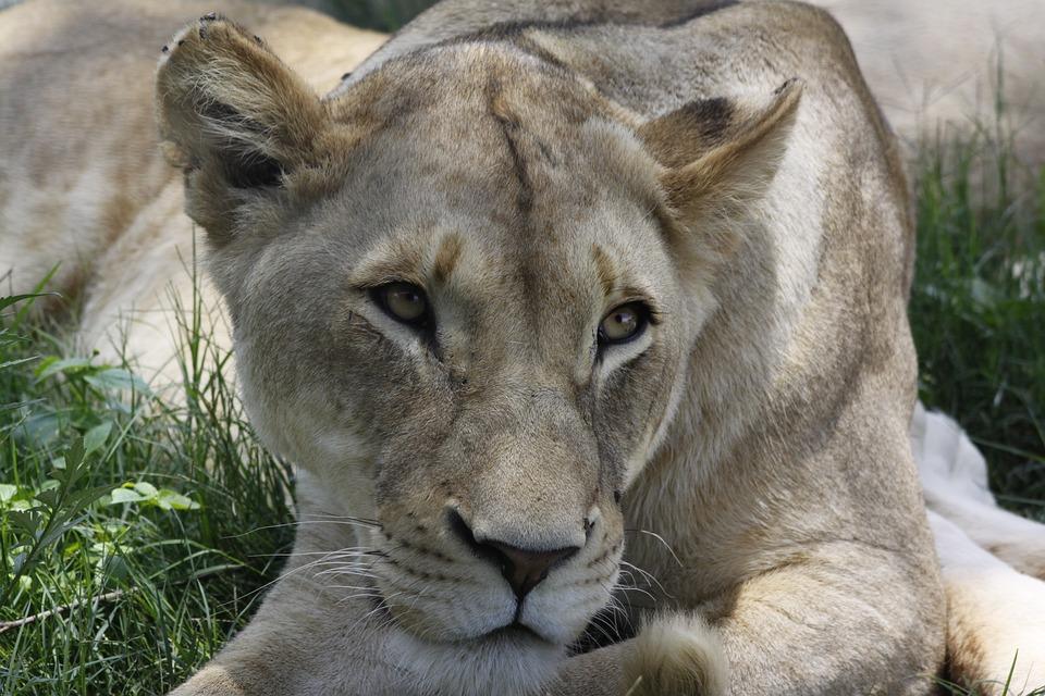 Mammal, Lion, Animal World, Animal, Nature, Carnivores