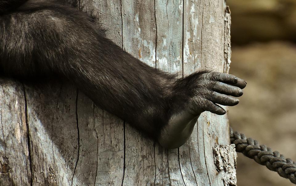 Gorilla, Monkey, Foot, Animal World, Animal