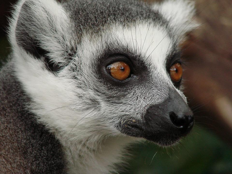Lemur, Madagascar, Monkey, Animal World, Mammal, Cute