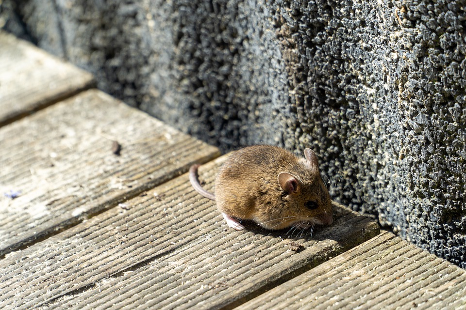 Mouse, Terrace, Animal, Cute, Nature, Animal World