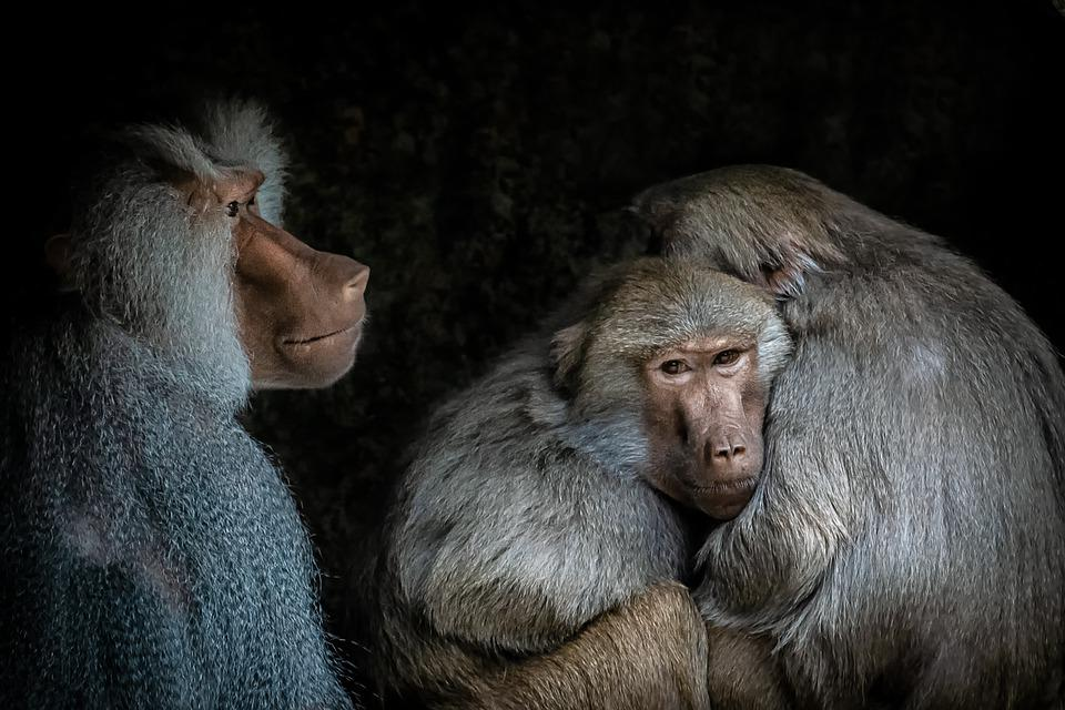 Baboon, Monkey, Zoo, Animal, Animal World, Nature