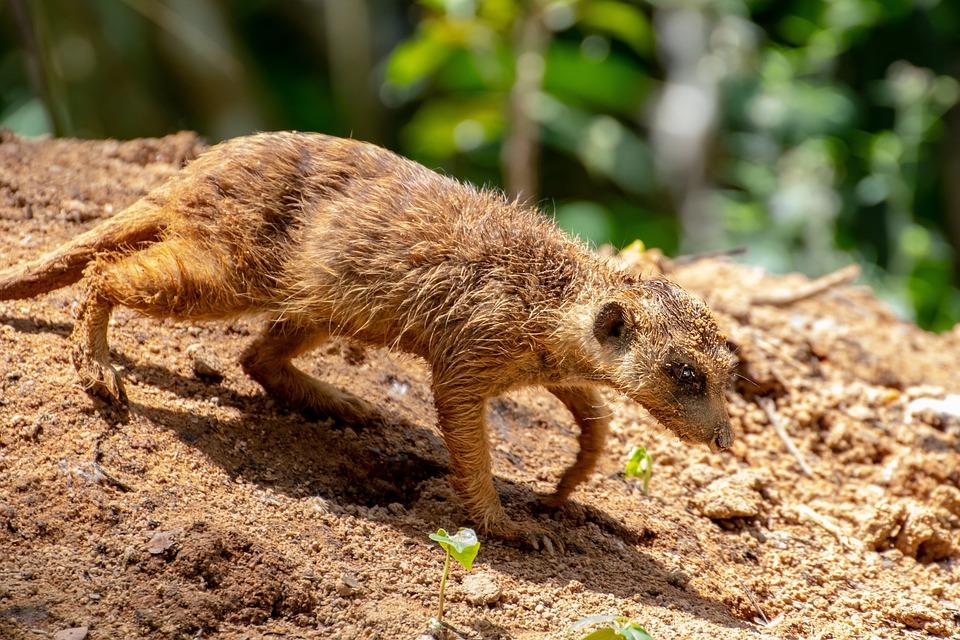 Meerkat, Nager, Animal, Nature, Cute, Animal World