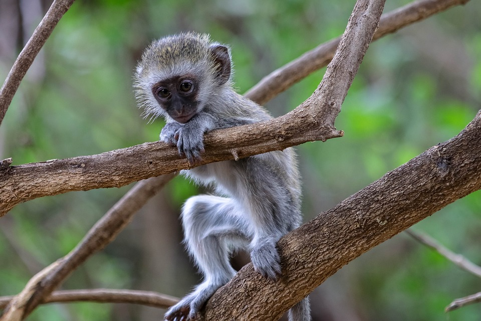Africa, Kenya, Monkey, Safari, Nature, Animal World