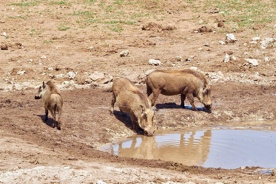 Warthog, South Africa, Safari, Nature, Animal World