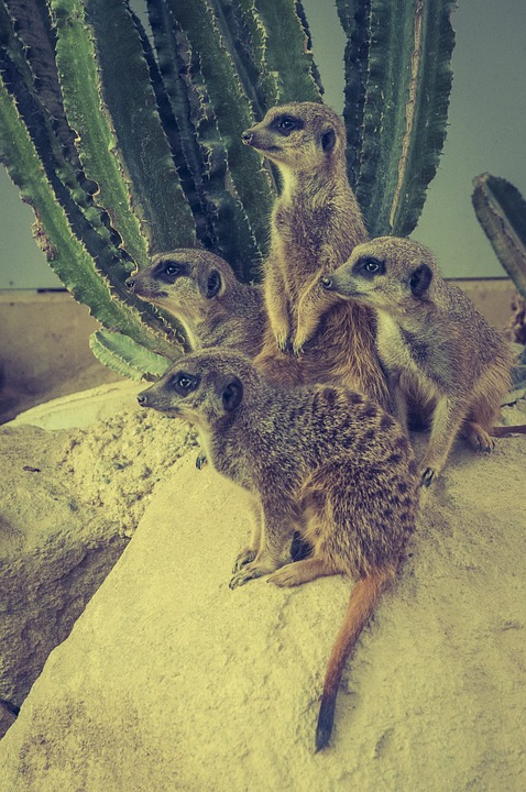 Meerkat, Stone, Wild Animal, Animal World, Nature