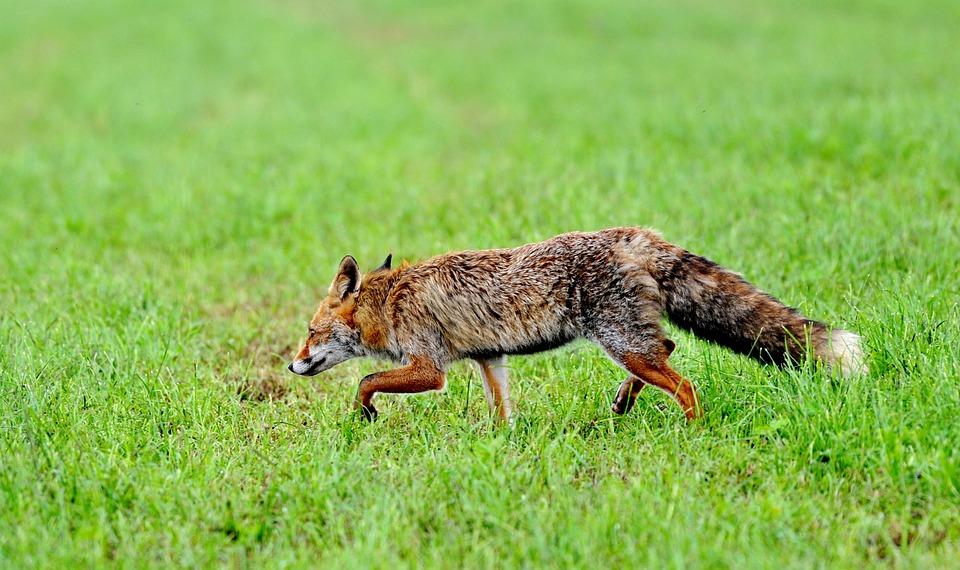 Fox, Predator, Mammal, Nature, Fur, Wild, Animal World