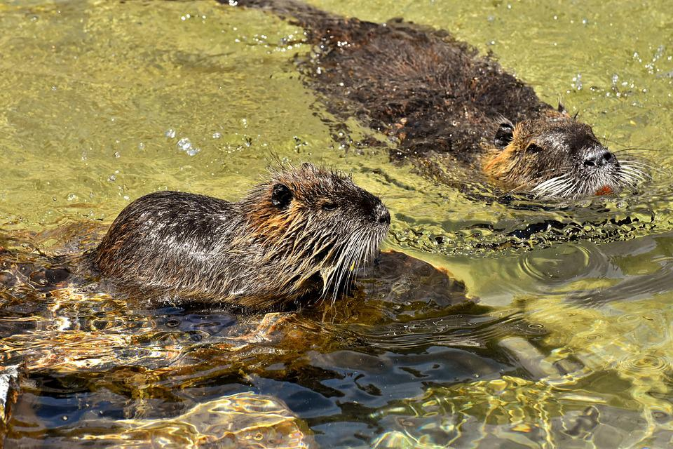 Nutria, Water Rat, Water, Paddling, Animal World