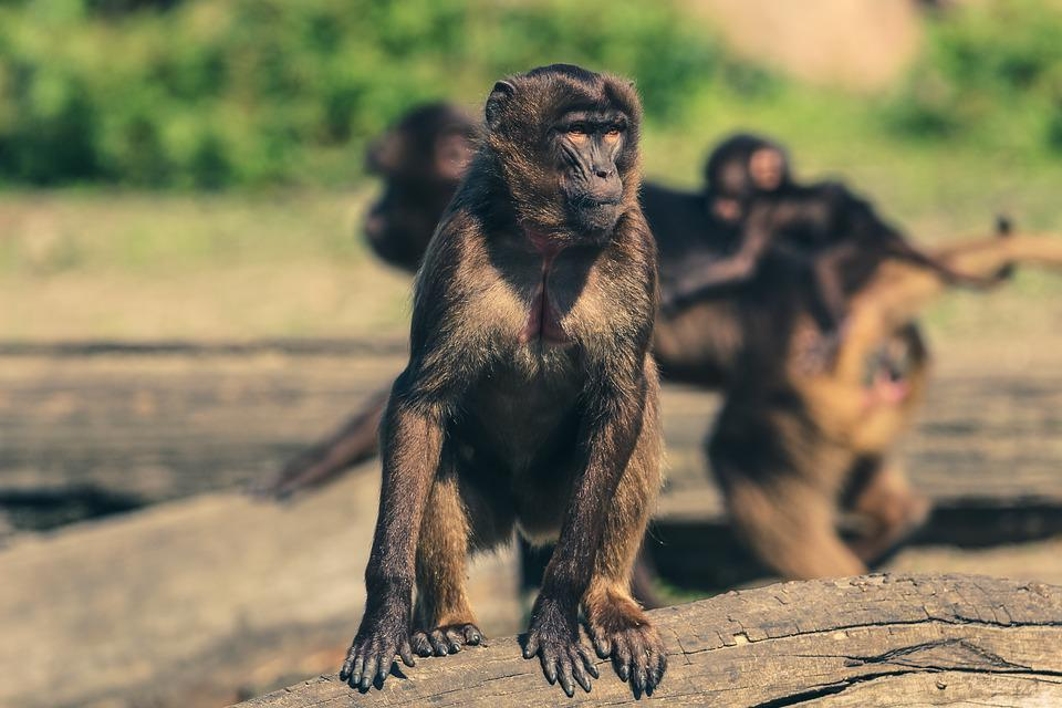 Monkey, Zoo, Animal World, Observing, Tiergarten