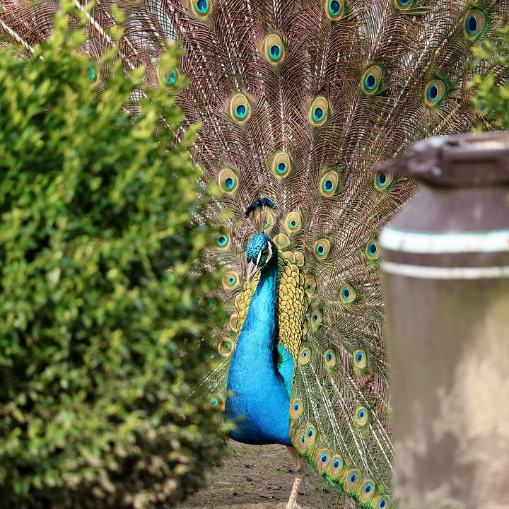 Peacock, Bird, Feather, Tail, Animal World, Background