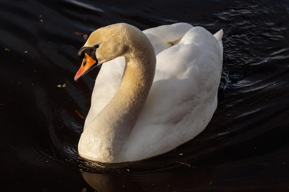 Bird, Nature, Waters, Swan, Animal World, Poultry