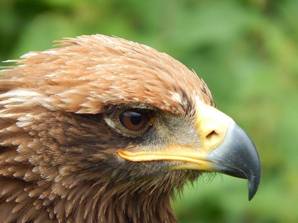 Animal World, Bird Of Prey, Adler, Bird, Prey, Head