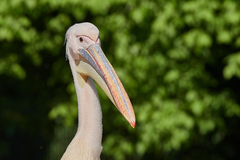 Pelikan, Bill, Waters, Animal World, Nature, Puddle