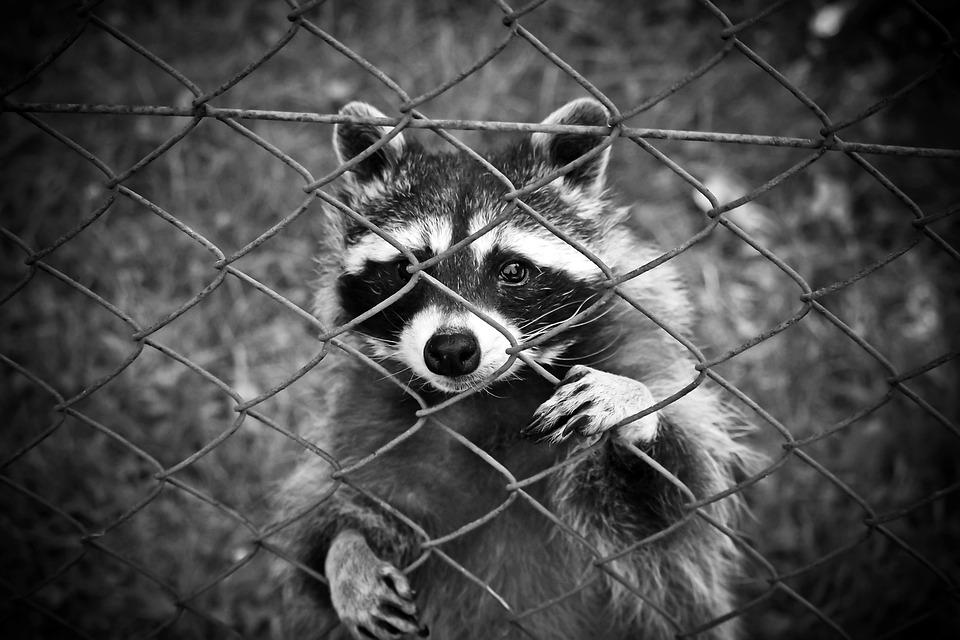 Raccoon, Animal, Animal World, Wildlife Photography