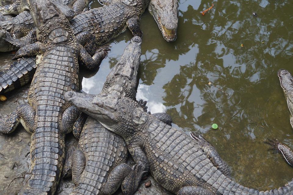 Crocodiles, Crocodile, Reptile, Risk, Animal World
