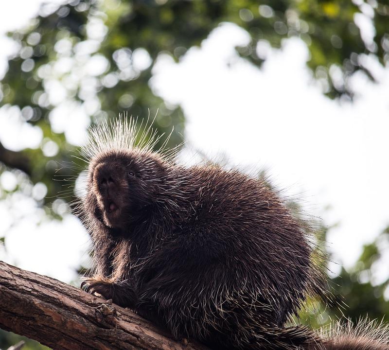 Porcupines, Mammal, Animal, Animal World, Rodent