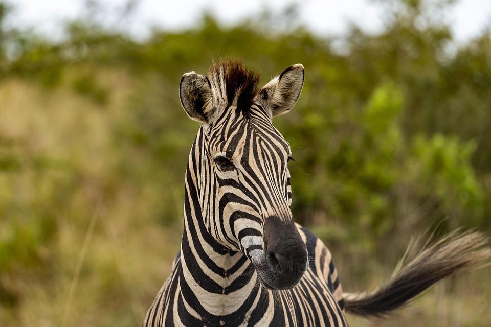 Safari, Africa, Zebra, Animal World, Stripes, Nature
