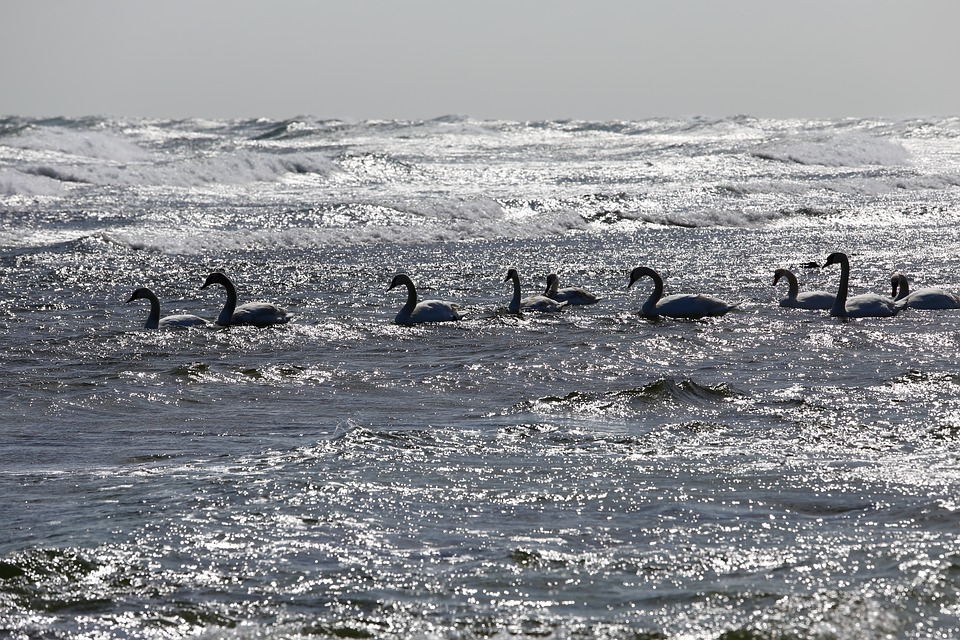 Bird, Swan, Sea, Animal World, Swans, Water Bird