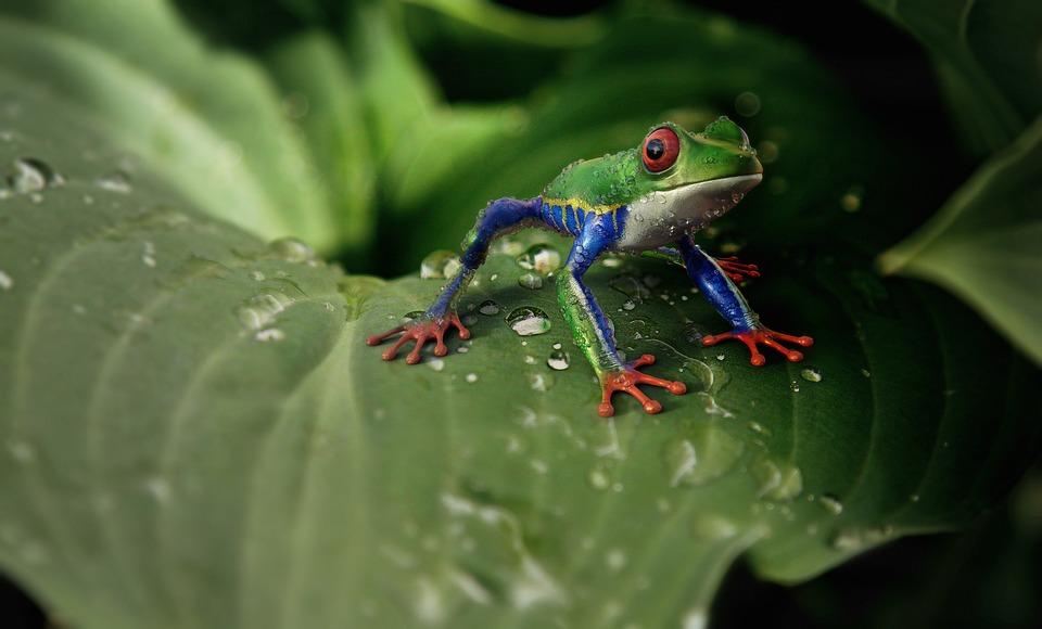 Frog, Animal, Animal World, Exotic, Tropical, Colorful