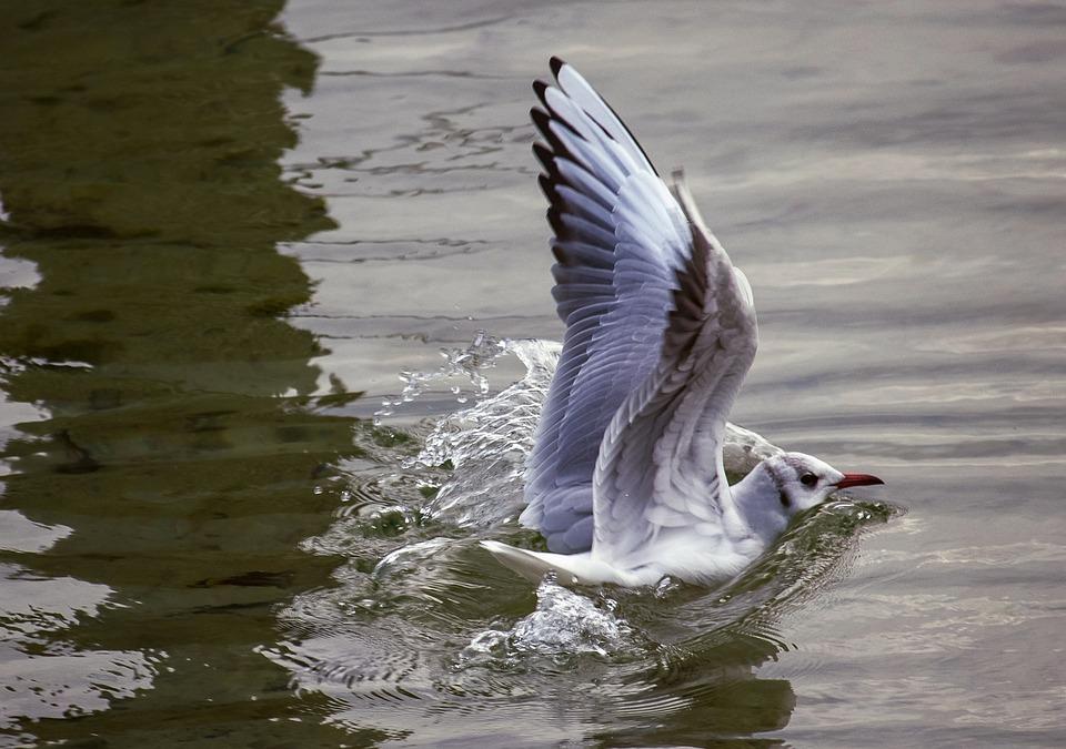 Seagull, Bird, Animal, Animal World, Water, Land