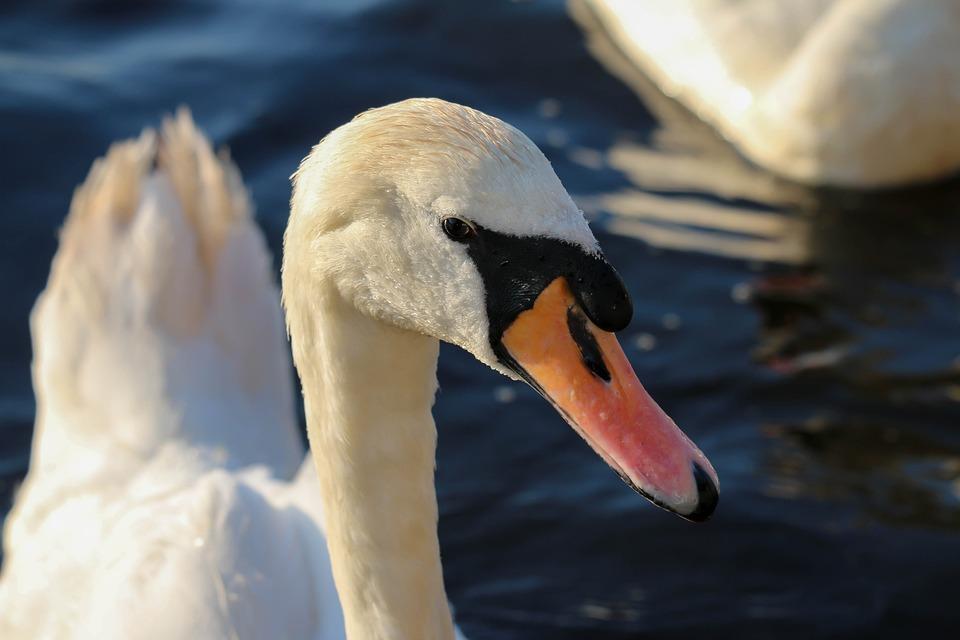 Bird, Swan, Waters, Nature, Animal World, Water Bird
