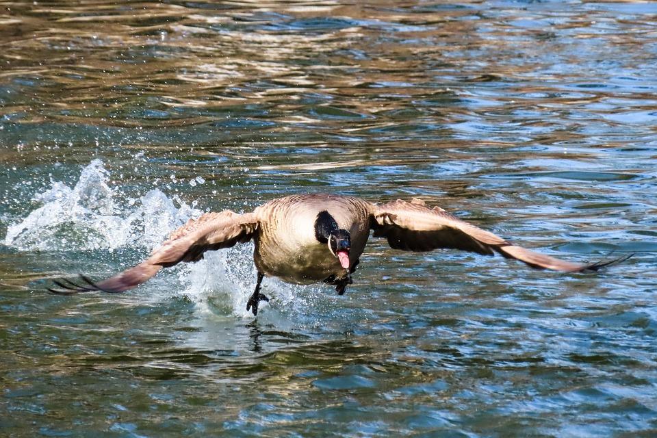 Animal World, Bird, Goose, Water Bird, Wing, Start