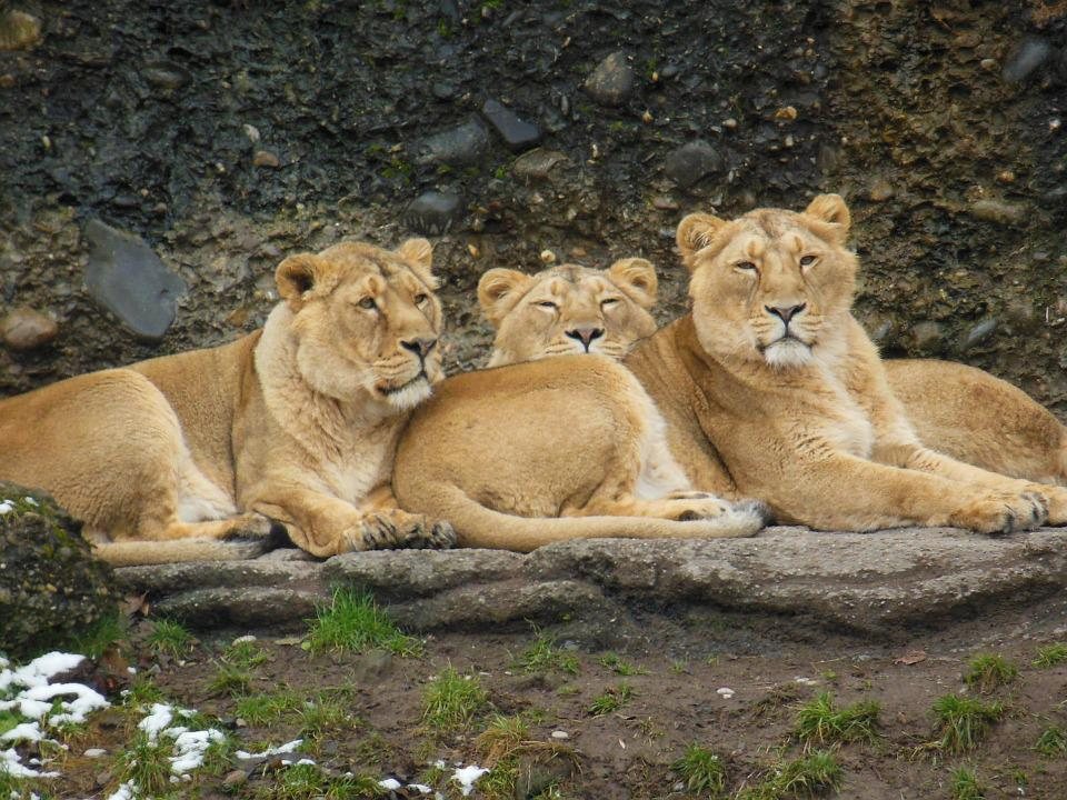 Lioness, Animal, Big Cat, Wild, Animal World, Zoo