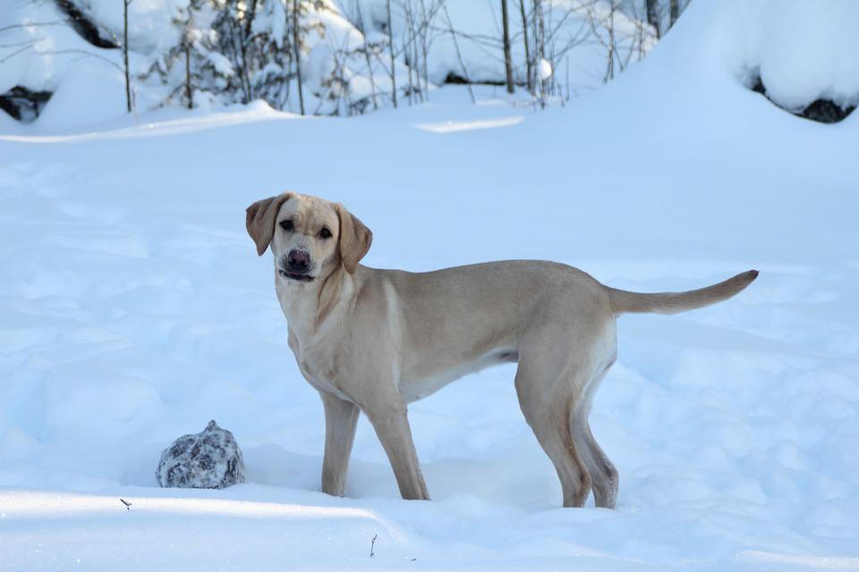 Retriever, Dog, Yellow Labrador, Winter, Pet, Animal