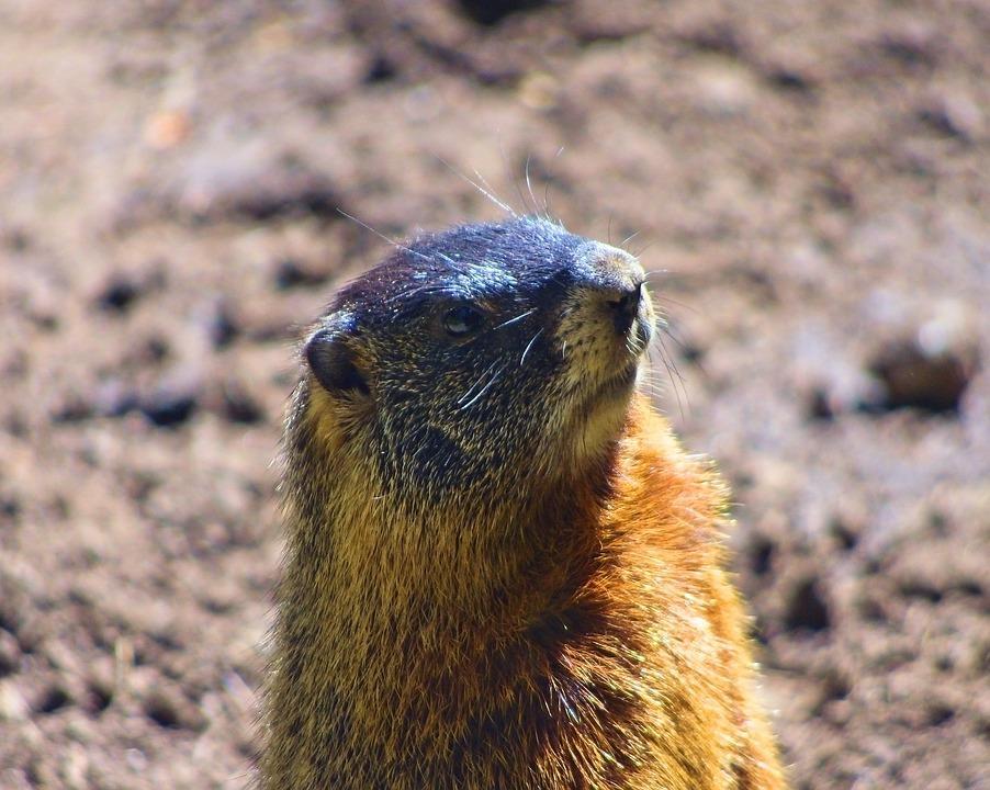 Rock Chuck, Yellow-bellied Marmot, Animal