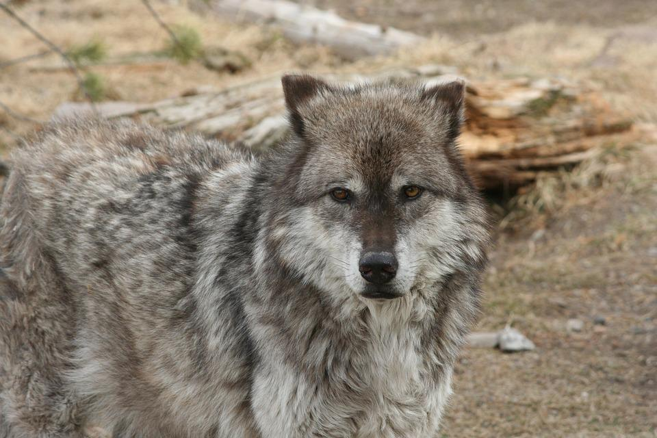 Wolf, Animal, Yellowstone, Mammal, Canine