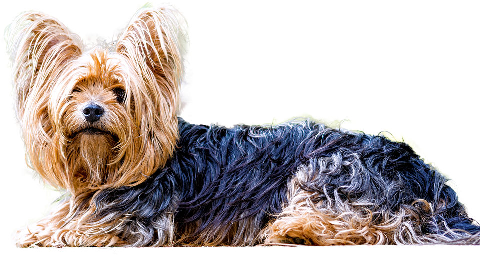 Isolated, Yorkshire Terrier, Dog, Small Dog, Animal