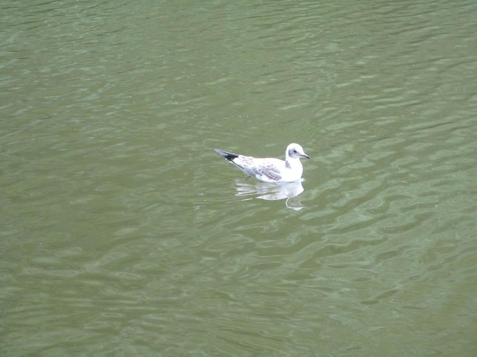 Larus Ridibundus, Black-headed Gull, Animal Young, Bird