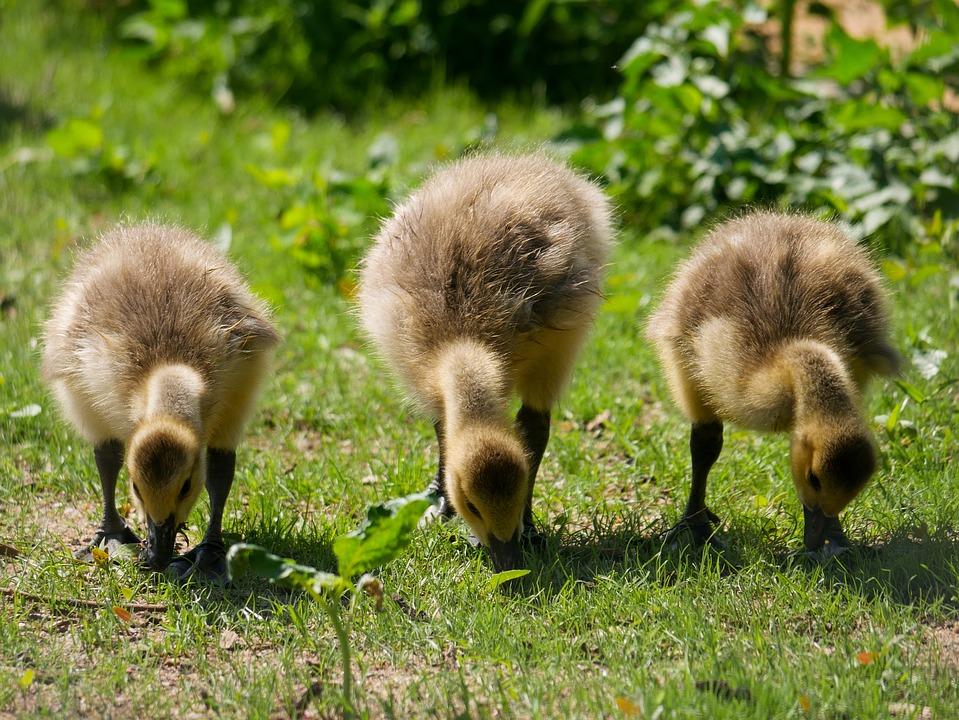 Animal, Bird, Goose, Chicks, Boy, Young
