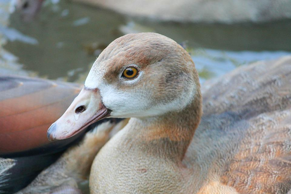 Nilgans, Young, Chicks, Water Bird, Animal, Goose