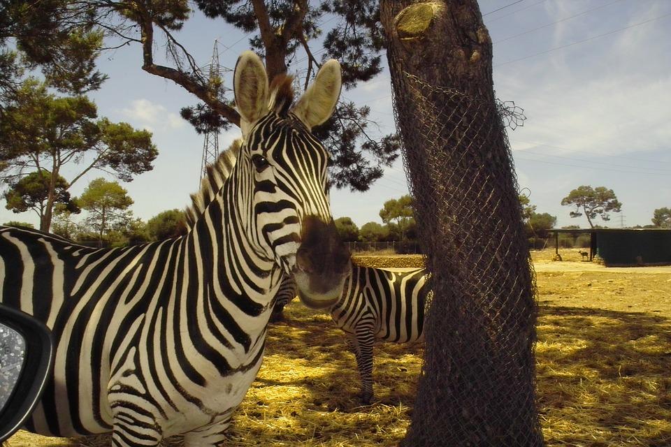 Zebra, Animal, Beautiful Color, Mammals, Zoo, Safari