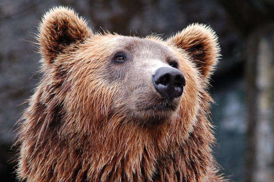 Animal, Zoo, Bear, Brown Bear